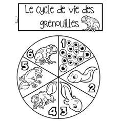 Roue du cycle de vie de la grenouille Teaching Science, Teaching Resources, Cycle 1, Petite Section, Life Cycles, Activities For Kids, Kindergarten, Education, Learning