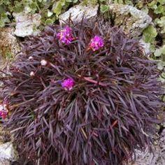 Gazon d'Espagne, Armérie maritime 'Rubrifolia' / Armeria maritima 'Rubrifolia' : plante de rocailles.