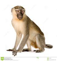 """""""O Grito do Bicho"""": Espanha alerta para tráfico ilegal de macacos port..."""
