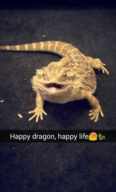 Bearded dragon Lazarus Q Causey 10 months old