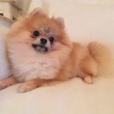 #pomeranian #dog #animal #love