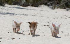 The Happy 9 Pigs – PHOTOS
