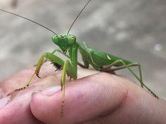 Closeup of a Green Praying Mantis Praying Mantis, Free Stock Photos, Close Up, Insects, Green