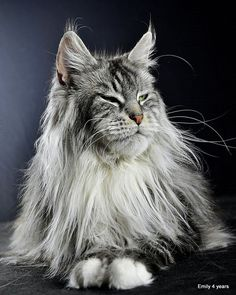 """She is beautiful! Look at that big strong jaw/muzzle! """"Emi""""- PL*Emily Enza. Shedoros Maine Coon cattery in Germany. http://www.mainecoonguide.com/maine-coon-temperament/"""