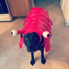 Practicing for #Halloween ! #labsofinstagram #labradorable #labster #blacklab #dogcostume #ohdear