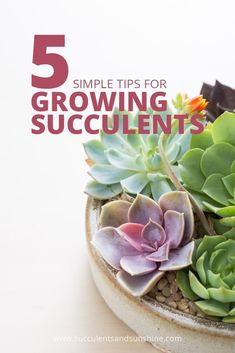 Succulent Care Tips for Happy, Healthy Succulents These tips for growing succulents were so helpful! This site is worth checking out! via tips for growing succulents were so helpful! This site is worth checking out! How To Water Succulents, Types Of Succulents, Growing Succulents, Water Plants, Cool Plants, Planting Succulents, Indoor Succulents, Flowering Succulents, Cacti Garden