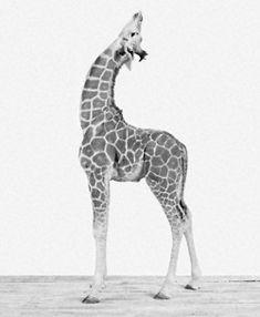 giraffe giraffe http://thewildanimalstore.com/category_jungle_animals/JUN_J0002_Giraffe.htm