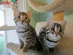 F1 Bengal kittens.