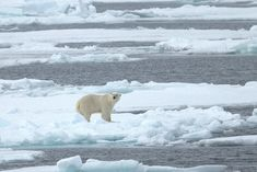 The beautiful Polar bear that lives in Spitsbergen.