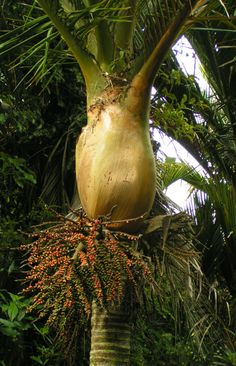 Ripe fruit of the Nikau palm tree, Kahurangi National Park, NZ - These grow throughout much of New Zealand.