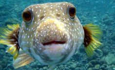 This photo about: Underwater Pufferfish Rare Deep Sea Creatures, entitled as Rare sea animals - ebreezetv Cute Creatures, Sea Creatures, Poisonous Animals, Puffins Bird, Carapace, Fish Wallpaper, Wallpaper Pictures, Dangerous Animals, Deadly Animals