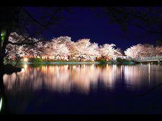 宵闇に浮かぶライトアップ夜桜 左クリックで臥竜公園 夜桜へ右クリック背景に設定で壁紙へ