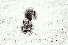 Foraging Squirrel by Vicki Field -  http://www.redbubble.com/people/inspiraimage/works/8909951-foraging-squirrel