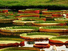 Botanical Gardens, Kolkata, India.