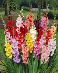 Glaïeuls à grandes fleurs
