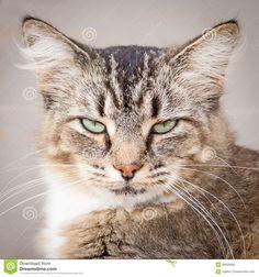 Dark Brown Tabby Cat with Blue Eyes | Brown Tabby Cat With Green Eyes Brown, black and white tabby cat ...