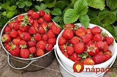 Strawberries are possibly the most irresistible and beautiful fruits. Everything about the strawberry be it color, texture or flavor is appealing which. Cat House Diy, Summer Berries, Rainwater Harvesting, Time To Eat, Kraut, Health Diet, Lawn And Garden, Horticulture, Food Inspiration