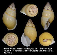 Dr. Lee's Gallery Museum 李啟澤醫師的部落格: Amphidromus maculatus bungiensis 30.05mm