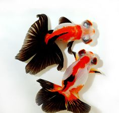are they a cross between a Black Moor & comet goldfish?-Orandas from China