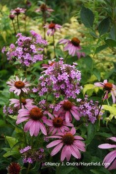 Echinacea purpurea and Phlox paniculata Jeana; Nancy J. Ondra at Hayefield