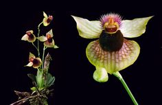 Telipogon biolleyi, Plant [on Left]; Flower-Macro [on Right] - Flickr - Photo Sharing!