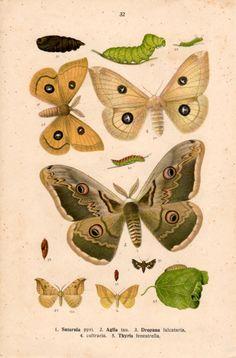 1915 empereur Moth, Print Antique, lithographie de l'insecte, papillon Bombyx, Saturnia pavonia, spini, pyri, Peacock Moth, Lepidoptera, entomologie
