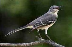 Mockingbird totem shares an inner sacred song to find life's purpose. You can also hear the true song in others.