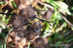 Oregon's Wild Harvest Organic Frozen Burdock (Arctium lappa) #oregon #organicherb #biodynamic #nongmo #burdock