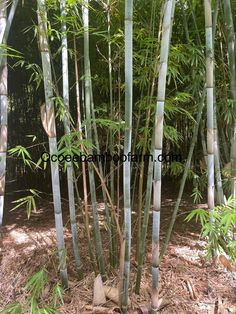 Juno Beach, Hallandale Beach, Bamboo Plants For Sale, Ocoee Florida, Clumping Bamboo, Neptune Beach, Royal Palm Beach, Privacy Plants, Oakland Park