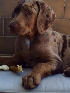 Checo at 3 months Catahoula leopard dog born In Slovakia