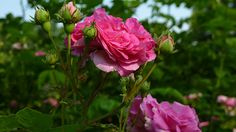 'Seven Sisters' Rose in the Rose Garden