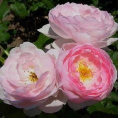 Scented, Aromatic, Fragrant Shrubs and Garden Plants: Rosa 'Scepter'd Isle' David Austin Roses, Pretty Roses, Gardening Supplies, Fruit Trees, Garden Plants, Shrubs, Perennials, Seeds, Bloom