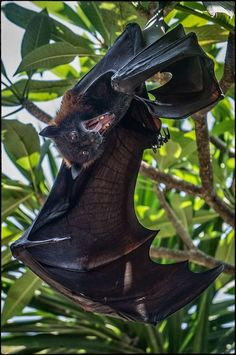 """The last pinner said: """"Militsky Sergey. S)"""" Not sure if that's the type of bat or what. I'll have to search it to know for sure. Creatures Of The Night, All Gods Creatures, Animals And Pets, Cute Animals, Bat Flying, Carnivore, Fruit Bat, Cute Bat, Diy Bird Feeder"""