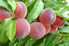 Bolile, dăunătorii, produsele pentru tratamente și lucrările importante la PIERSIC, pentru stadiile cheie din cursulunui an vegetativ. Peach, Fruit, Gardening, Lawn And Garden, Peaches, Horticulture