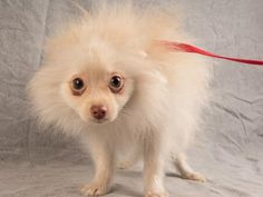Adopt Bean, a lovely 7 months 1 day Dog available for adoption at Petango.com.  Bean is a Pomeranian and is available at the National Mill Dog Rescue in Colorado Springs, Co. www.milldogrescue... #adoptdontshop #puppymilldog #rescue #adoptyourfriendtoday