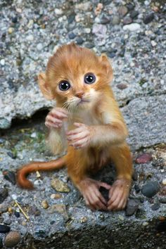 Sep 2019 - Sarah Lee DeRememer, from LA, started creating 'mittens' as a way to improve her Photoshop skills. Now she spends up to four hours creating each of the hybrid animals. Unusual Animals, Rare Animals, Animals Beautiful, Animals And Pets, Cute Baby Monkey, Pet Monkey, Cute Little Animals, Cute Funny Animals, Photoshopped Animals