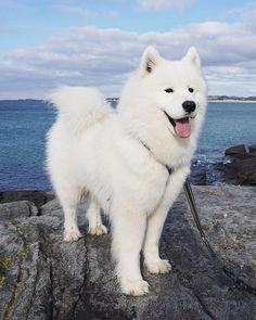 Samoyed Dog is One of the Most Stunningly Beautiful Dog Breeds Samojede Hund ist eine der atemberaubendsten Hunderassen dogs # Hunde # Welpen Cute Dogs Breeds, Cute Dogs And Puppies, Puppies Tips, Puppy Breeds, Bulldog Puppies, Cute Dogs And Cats, Dalmatian Puppies, Havanese Puppies, Cutest Dogs