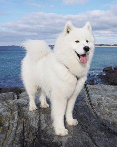 Samoyed Dog is One of the Most Stunningly Beautiful Dog Breeds Samojede Hund ist eine der atemberaubendsten Hunderassen dogs # Hunde # Welpen Cute Dogs Breeds, Cute Dogs And Puppies, Puppies Tips, Puppy Breeds, Bulldog Puppies, Cute Dogs And Cats, Cute White Dogs, Dalmatian Puppies, Havanese Puppies