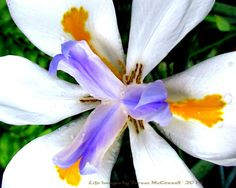 Macro Shot of the White African Iris with by LifeImagesByTeresaMc, $25.00