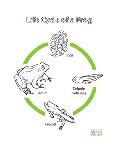 Coloring Page to Celebrate World Frog Day Planet Coloring Pages, Frog Coloring Pages, Free Printable Coloring Pages, Frog Crafts Preschool, Frog Activities, 6th Grade Science Projects, Cycle For Kids, Lifecycle Of A Frog, Frog Life