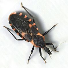 Dr Oz: Kissing Bug, Chagas . Complete Information on Chagas disease .  Kissing Bug gets its name because it bites you on the lips.  Often the Kissing Bug flies into your lips while you are sleeping.   The transmission is normally transmitted via the stool of blood-sucking worm vectors (reduviid bugs)