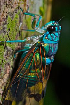 Turquoise cicada (Zamarra sp.)    Manu national park, Manu lodge, Amazonian lowlands. Image by pbertner