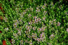 Red creeping thyme (image) has a spreading habit. I love the fragrance of its leaves.