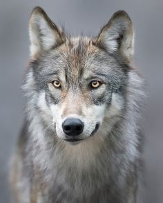 #Wolves/Wolfs   Stop Killing Wolves! — Wolf by Ken Conger