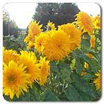 Organic Goldy Double Sunflower