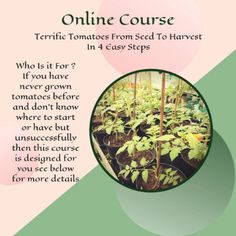 Tomato Growers, Grow Tomatoes, Tomato Plants, News Online, Online Courses, Harvest, Garden Ideas, Seeds, How To Get