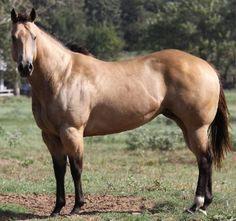 Buckskin Horse   BUCKSKIN QH STUD   Horses