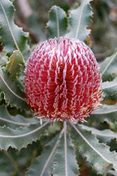 Banksia Menziesii, Albany Region WA