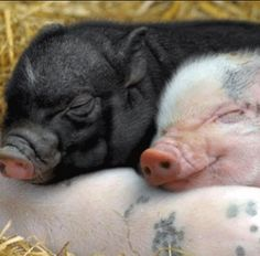 Sleeping pigs!
