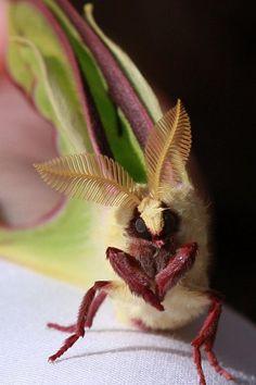 Close up - luna moth science-nature Beautiful Creatures, Animals Beautiful, Cute Animals, Beautiful Bugs, Beautiful Butterflies, Lunar Moth, Cool Bugs, Moth Caterpillar, A Bug's Life